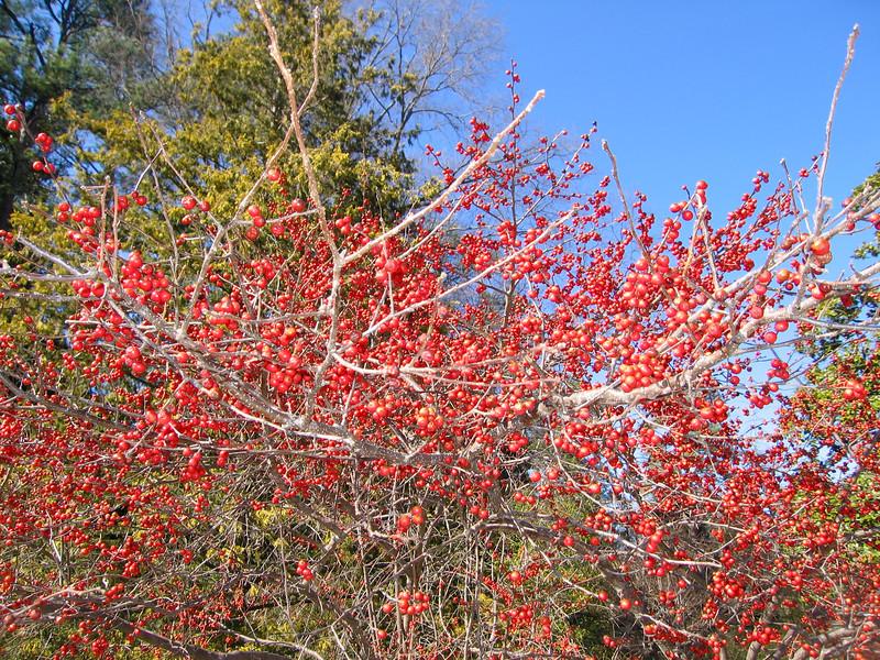 03022008 Carolina Cardinal Holly (Ilex x 'Carolina Cardinal')