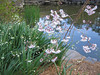 00aFavorite 03292006 Lovely small white flowering bulbs by pond