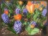 03292006 Blue hyacinths and orange tulips [soft focus, borderfade4]