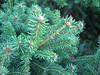 12072006 An evergreen cl