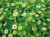 08022006 Yellow flowers, Duke Gardens