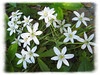 04182004 Small white flowers [edgefade10 frame]