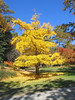 00aFavorite 11032006 Ginkgo Biloba tree with beautiful yellow foliage