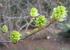 00aFavorite 03292006 Beautiful compound green buds opening
