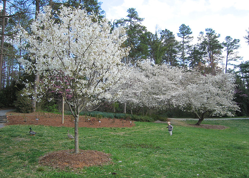 03292006 White flowering trees (cherries maybe) with ducks and toddler
