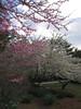 03292006 Redbud and white flowering trees (cherries maybe) 2
