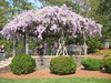 00aFavorite 04182004 Wisteria in full bloom