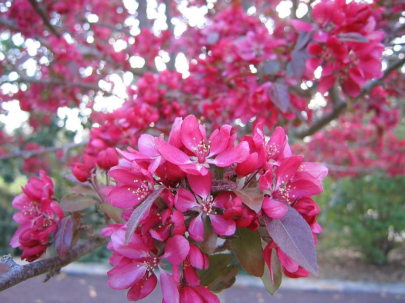 03292006 Deep pink crabapple blooms cl 2