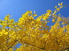 00aFavorite 11032006 Looking up at Ginkgo Biloba and its glorious yellow fall show