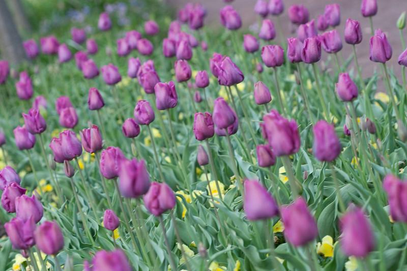 00aFavorite 04092009 Sea of purple tulips