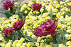 03312007 Yellow and purple flowers