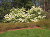04182004 Chinese Snowball (Viburnum macrocephalum 'sterile') in full bloom
