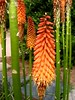 06162002 Orange stalk flowers