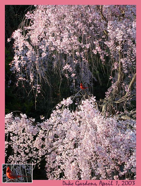 04012003 Cardinal in fully blooming weeping cherry [border, text, inset blowup]