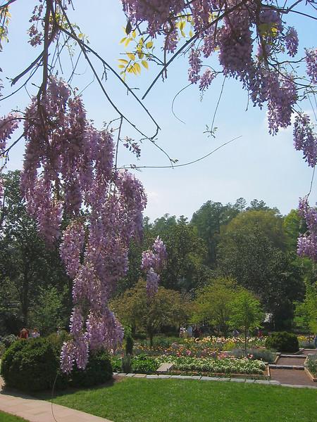 04182004 Looking from pergola through wisteria 2