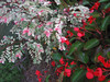 09172006 Pink, white, and green leaf plant, red flowering plant (blurry)
