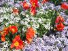 04182004 Tulips (Tulipa 'Orange Favorite') and Phlox