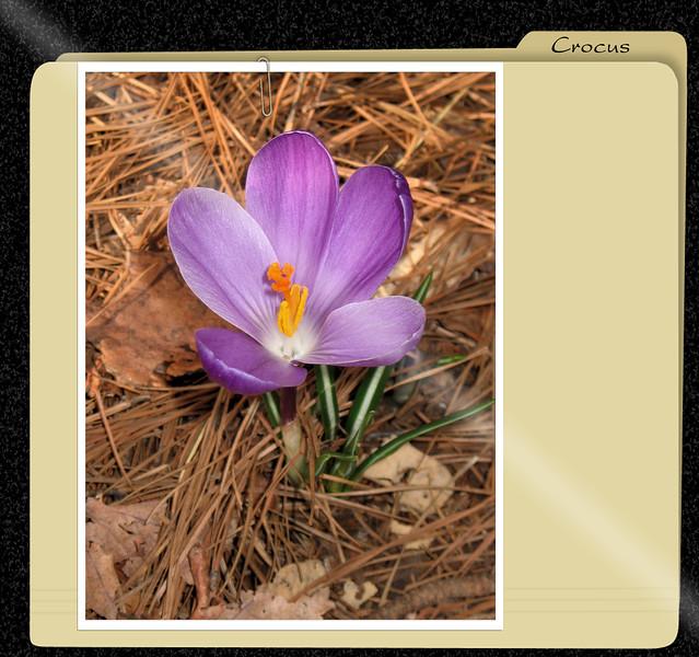 03222007 Crocus [x-file frame]