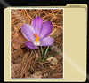 03222007 Crocus [x-file frame]