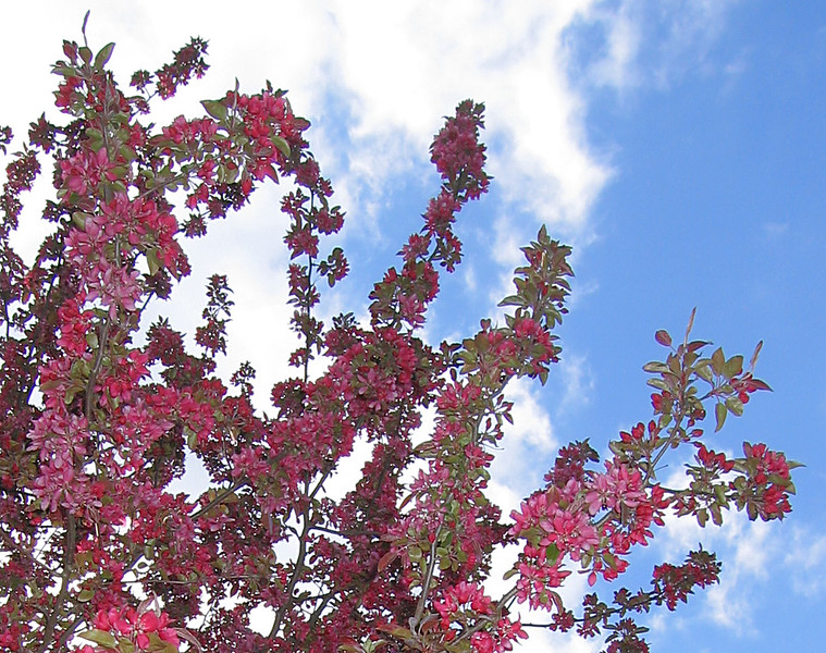 00aFavorite 03292006 Crabapple blossoms [closely cropped]