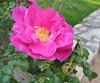 04132006 Rugosa rose