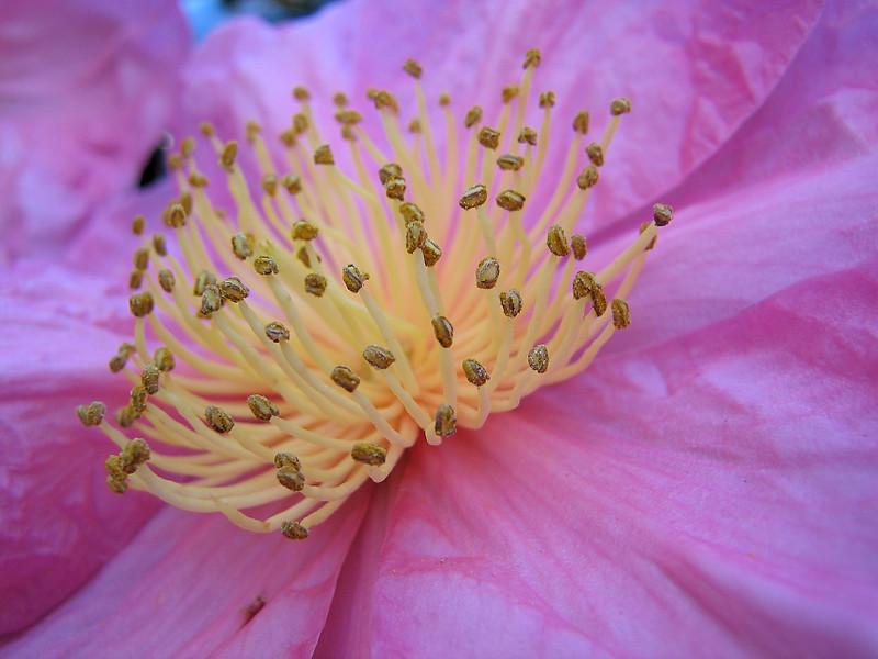 00aFavorite 11032006 Camellia Sasanqua 'Moon Festival' fr China Japan&Korea (NovDec blooming) cl