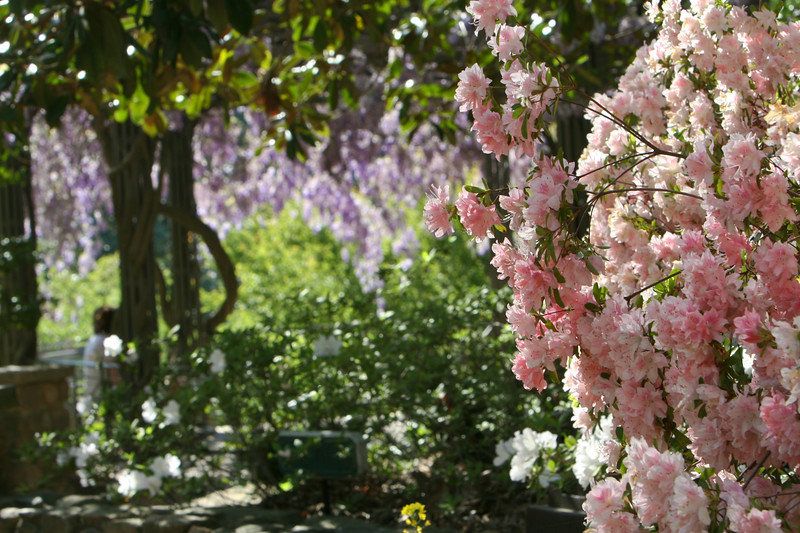 04172008 Wisteria arbor with pink azalea in fg