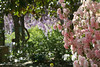 04172008 Wisteria arbor with pink azalea in fg
