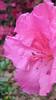 04212006 Vibrant azalea [closely cropped]