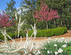 03292006 Crabapples with deep pink blossoms, white flowering shrub in fg