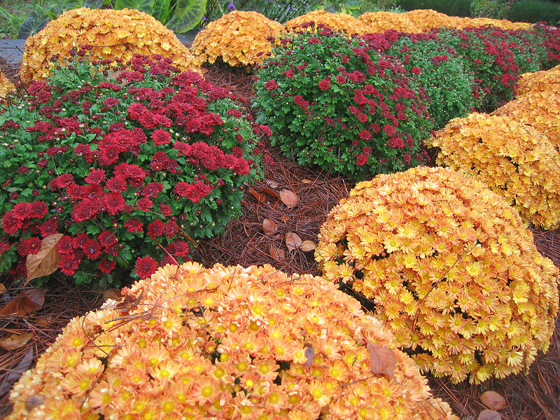 10222006 Chrysanthemums