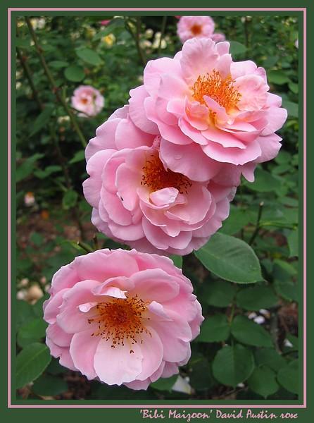 00aFavorite 05252003 'Bibi Maizoon' David Austin rose cl [borders, text]