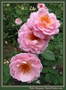 00aFavorite 05252003 'Bibi Maizoon' David Austin rose cl [borders, text]