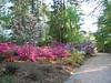 04252005 Azaleas and dogwoods in full blown