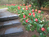 03222007 Stairway behind pond leading past blooming tulips 2