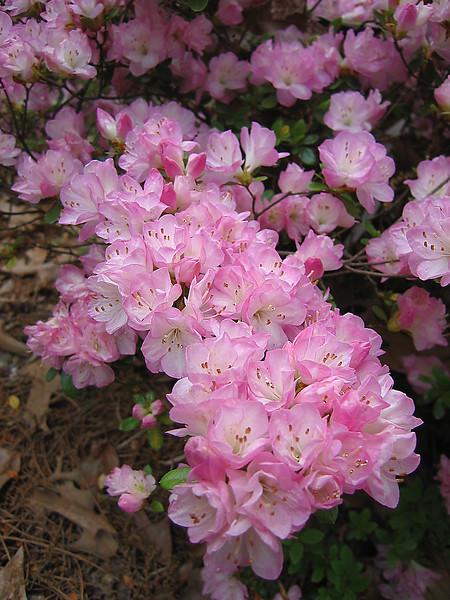 00aFavorite 04212006 Cattleya azalea