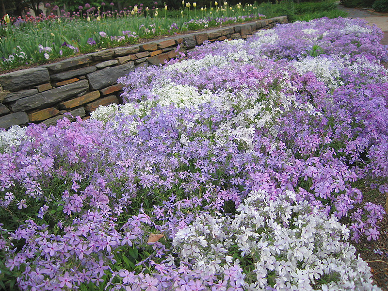04212006 Purple and white flowers in terrace garden