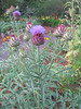 06292003 Bed of Cardoon (Artichoke Thistle, Cynara cardunculus)