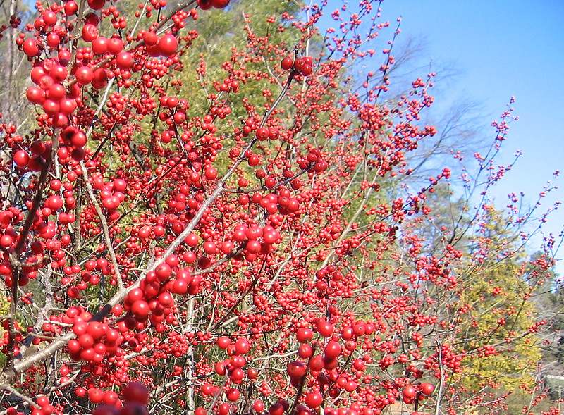 02162007 Sparkleberry Holly cl