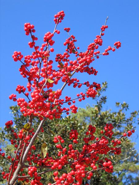 00aFavorite 11032006 Berries reaching skyward