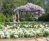 04182004 Tulips and wisteria, terrace garden