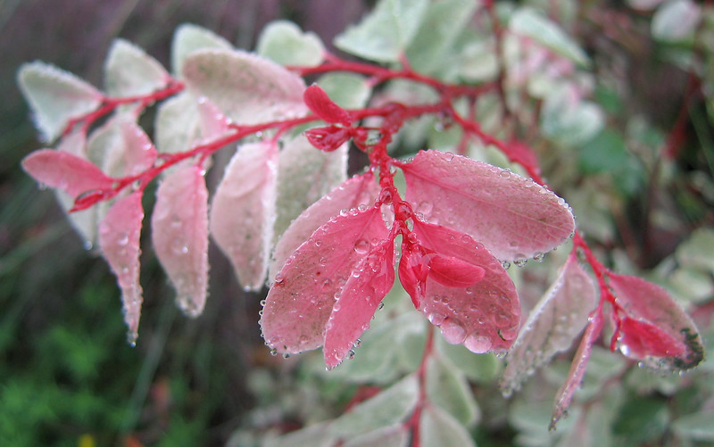 00aFavorite 10222006 Pink-leafed plant with raindrops
