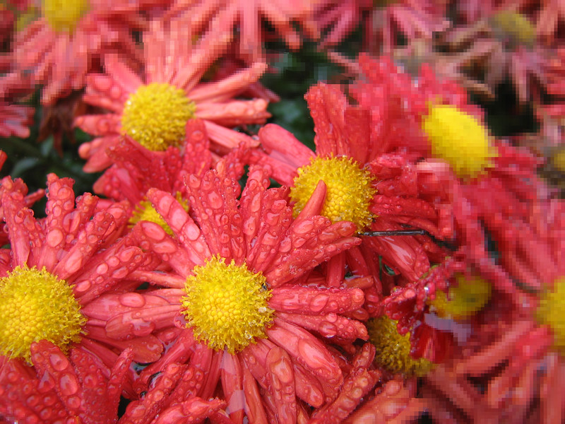 10222006 Light red flowers after rain [elliptical progressive pixelization]