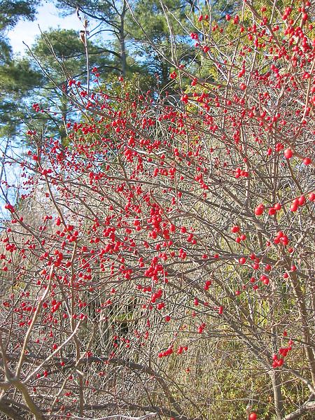 12292003 Bush full of red berries