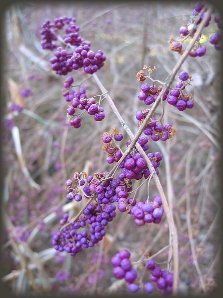 12292003 Purple Beautyberry (Callicarpa dichotoma) - I think but am not sure [borderfade4]