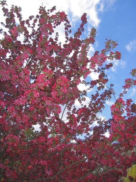 03292006 Crabapple blossoms