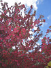 03292006 Crabapple blossoms