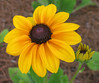 06292003 Black-eyed Susan - 1 fg, 1 bg (Gloriosa Daisy 'Indian Summer' Rudbeckia hirta)
