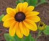 06292003 Black-eyed Susan - 1 fg, 1 bg (Gloriosa Daisy 'Indian Summer' Rudbeckia hirta)