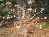 03222007 Paperbush (Edgeworthia chrysantha) blooming